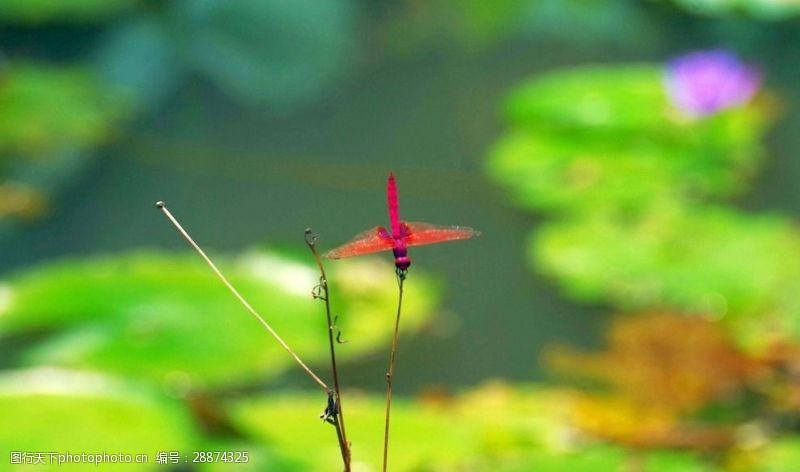 梦幻荷花彩色蜻蜓