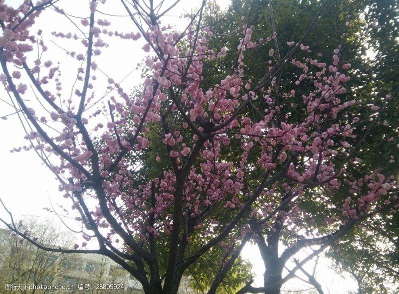 三月桃花开桃花
