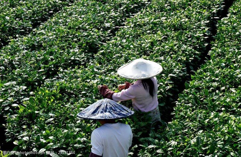 贵州茶园茶农采茶图