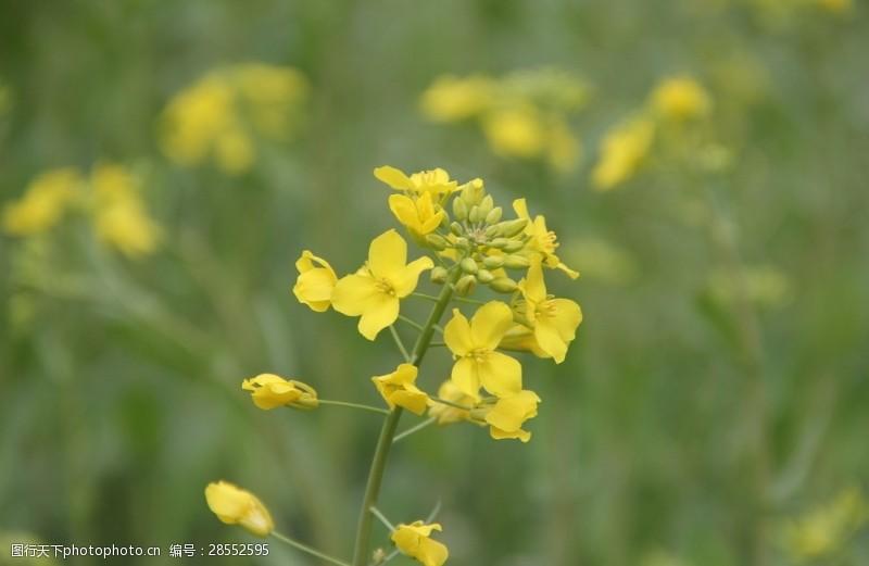 flowers油菜花