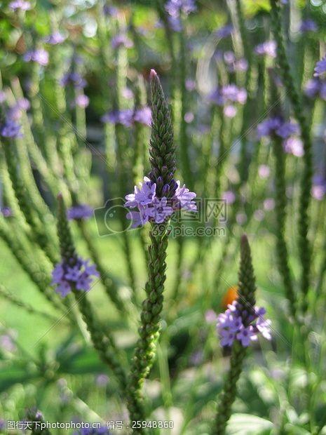 plants紫色花瓣5花卉特写照片有了绿叶