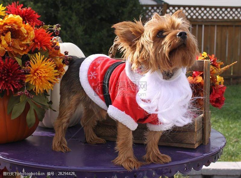 圣诞老人套装穿着圣诞衣服的狗狗