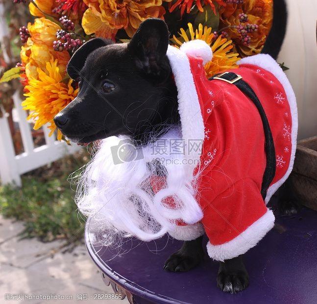 圣诞老人套装三项赛和秋季狗照片130.JPG
