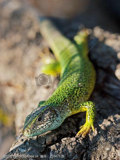 images绿色斑点蜥蜴灰色岩石