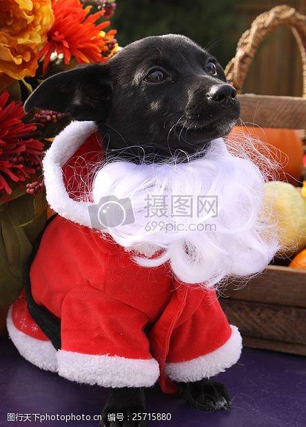 圣诞老人套装穿着圣诞衣服的狗